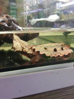 Fransenschildkröte (Mata Mata)